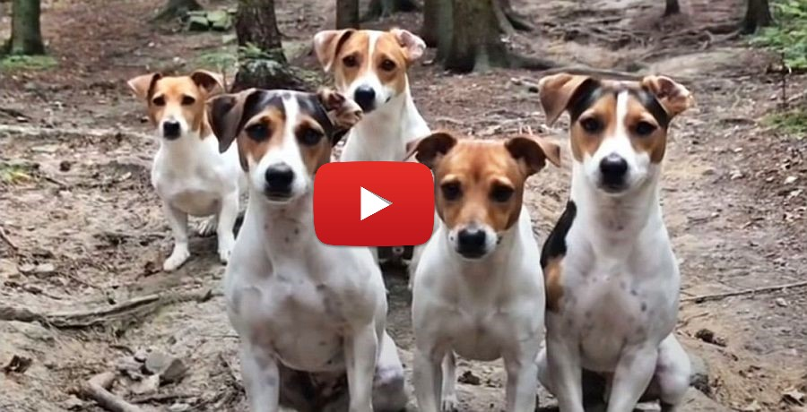 jack russell terrier family video