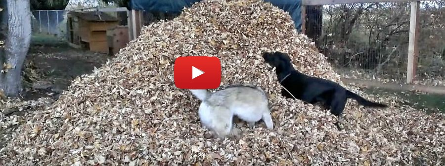 lab husky and a pile of leaves video