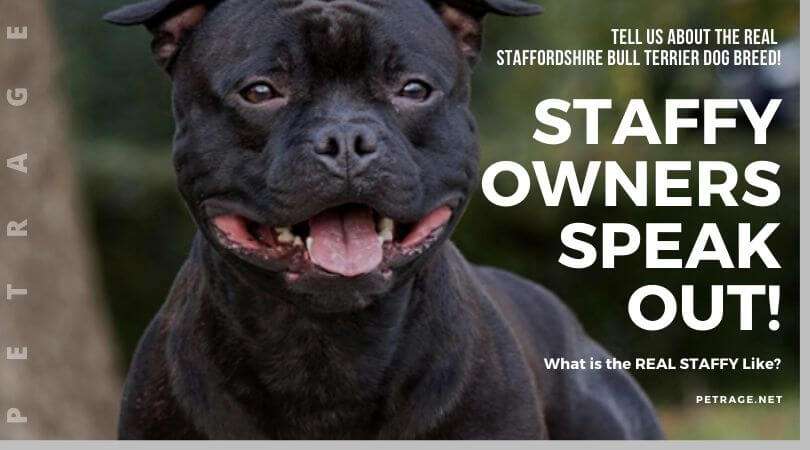 petrage bull poll staffy owners speak out petrage dogbreeds