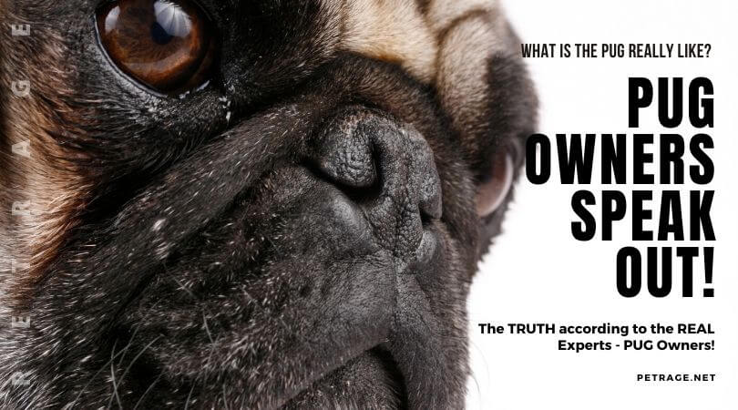 pug owners speak out the real experts petrage (1)