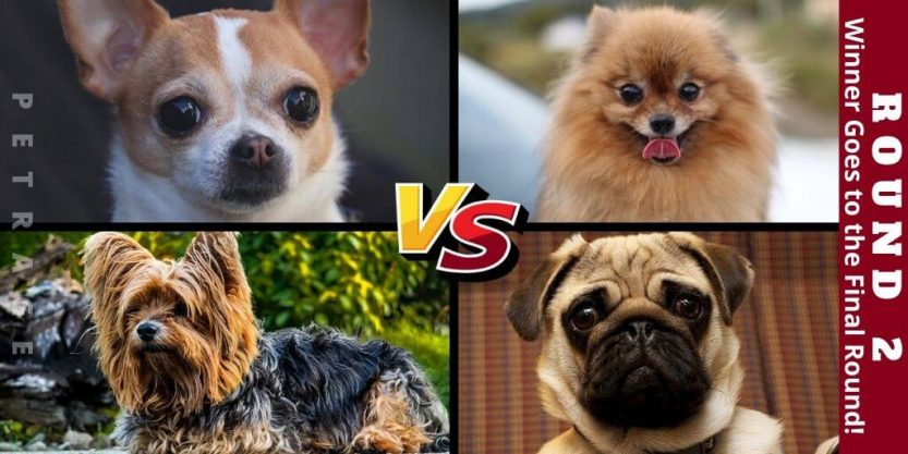 round 2 small dogs dog breed poll petrage (1)