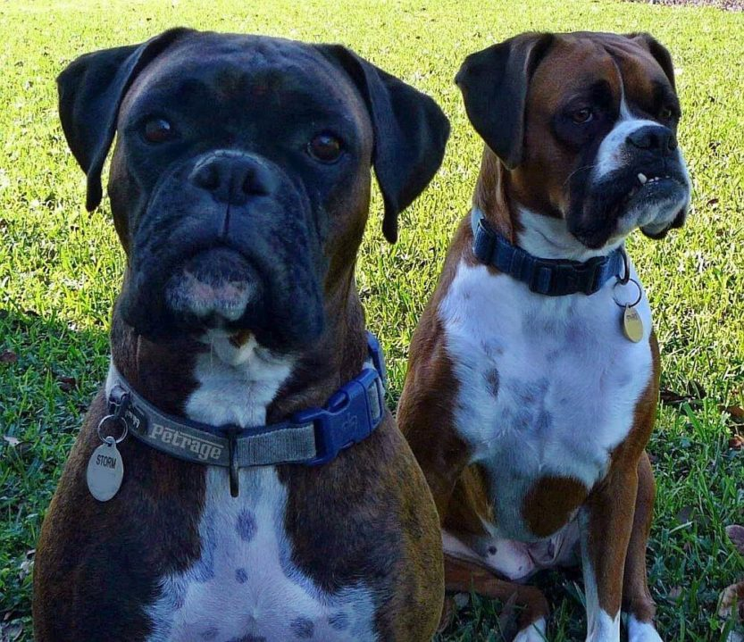 storm and sparks boxer dogs under the tree petrage