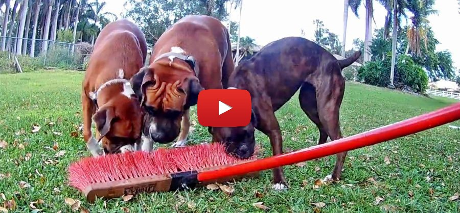 three boxers and a broom video