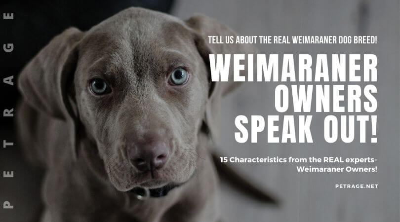 weimaraner owners speak out petrage dogbreeds