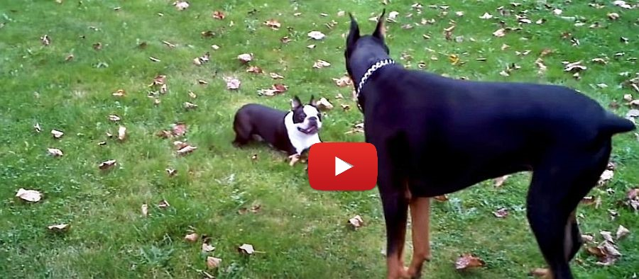 boston terrier and doberman playing video