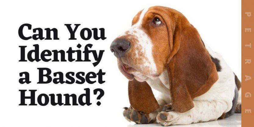 can you identify the basset hound dog breed quiz (1)