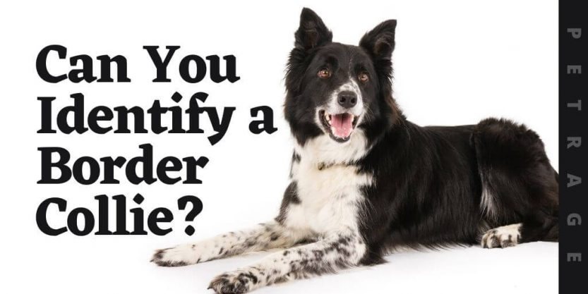 can you identify the border collie dog breed quiz
