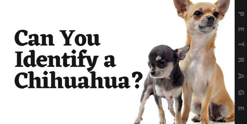 can you identify the chihuahua dog breed quiz