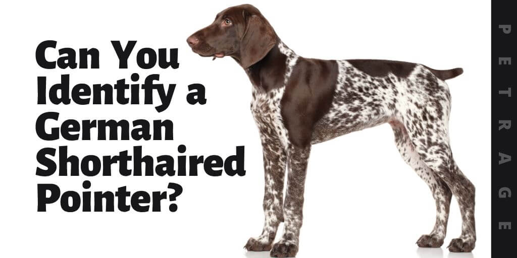 can you identify the german shorthaired pointer dog breed quiz (1)
