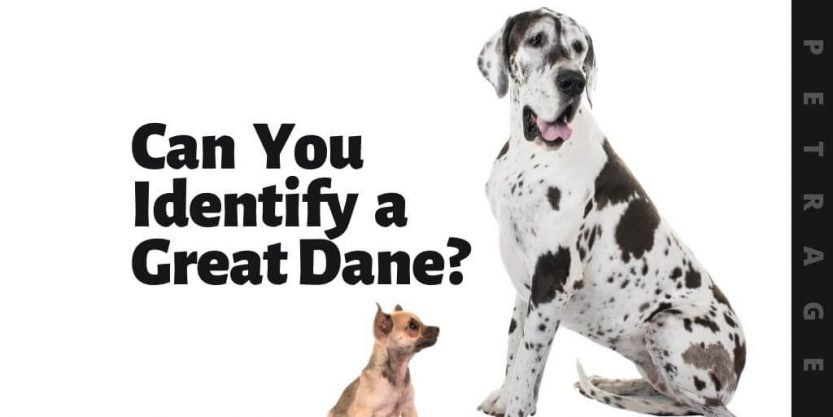 can you identify the great dane dog breed quiz (1)