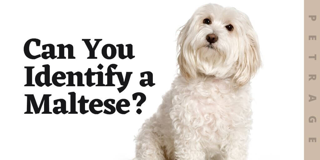 can you identify the maltese dog breed quiz