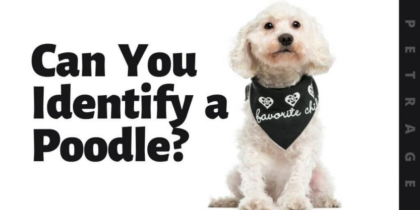 can you identify the poodle dog breed quiz (1)
