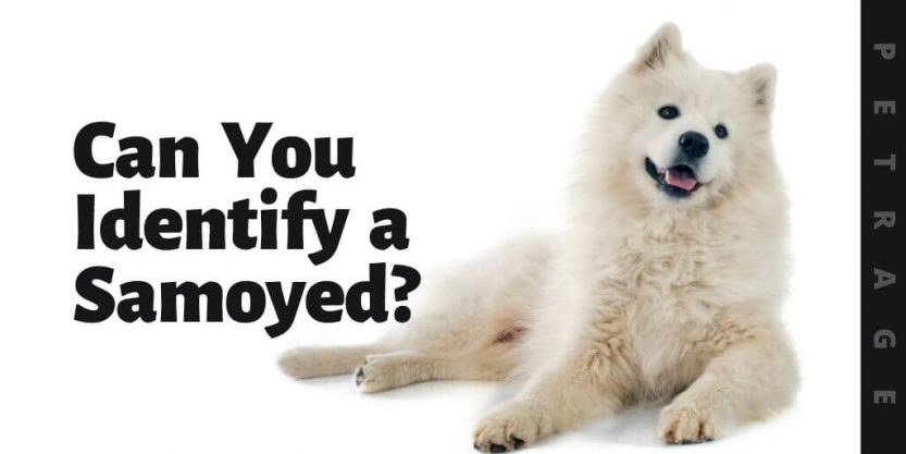 can you identify the samoyed dog breed quiz (1)