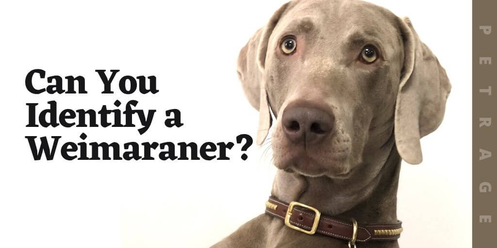 can you identify the weimaraner breed quiz (1)