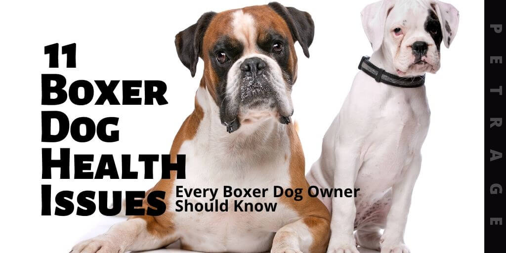 boxer dog breed health issues petrage (1)