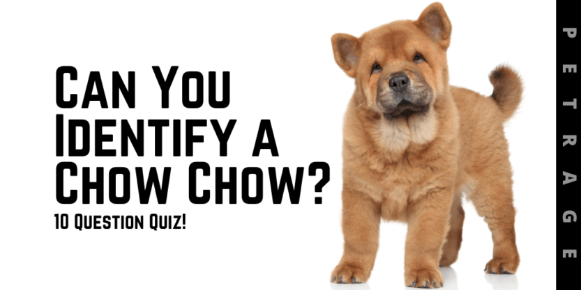 can you identify a chow chow quiz petrage (1)