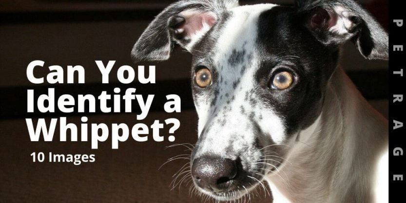 can you identify a whippet quiz petrage (1)