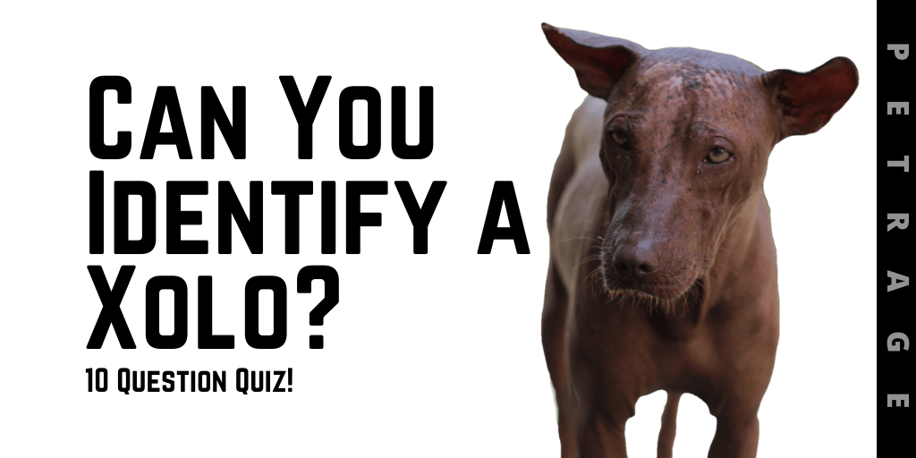 can you identify the xolo dog breed petrage
