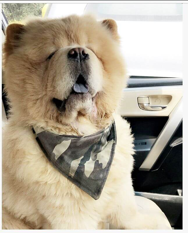 chow chow tongue out picture
