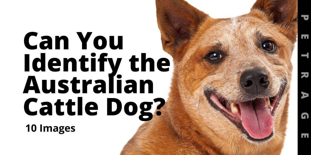 Can You Identify the Australian Cattle Dog Breed