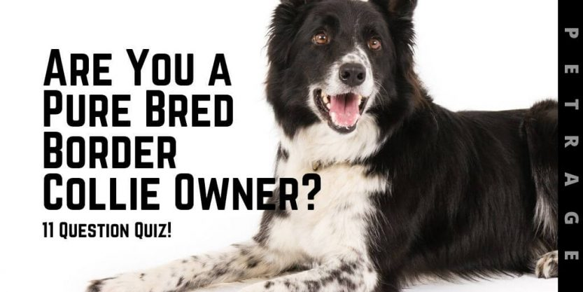 petrage are you a pure bred border collie owner quiz petrage