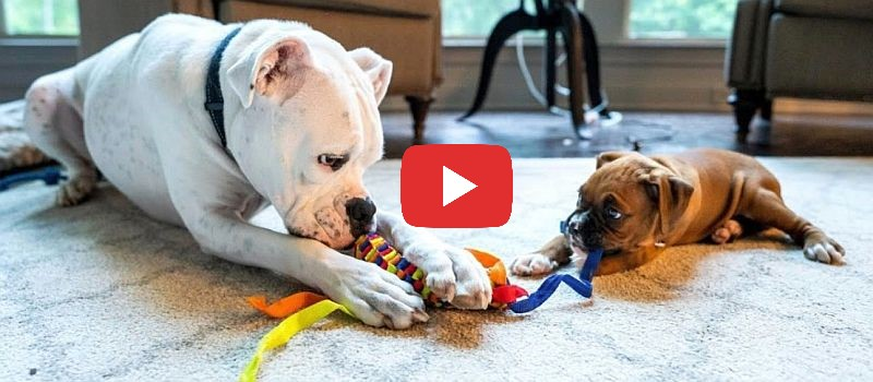 boxer puppy playing hard and sleeping video