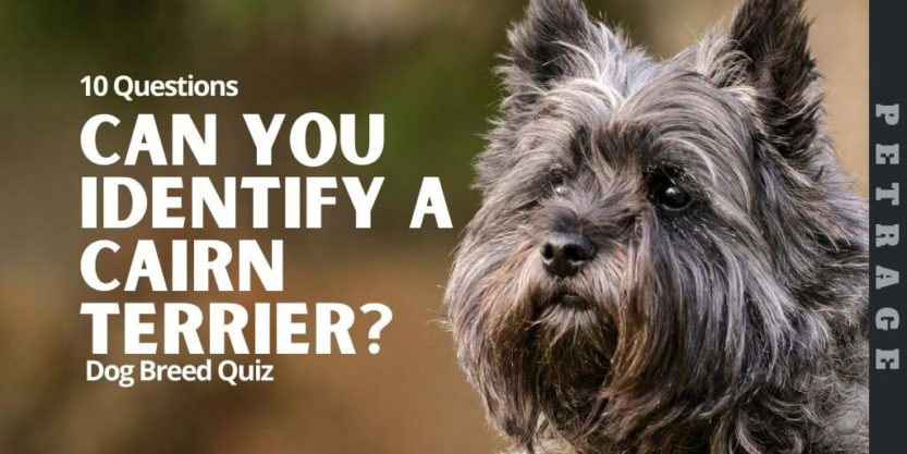 Can You Identify the Cairn Terrier