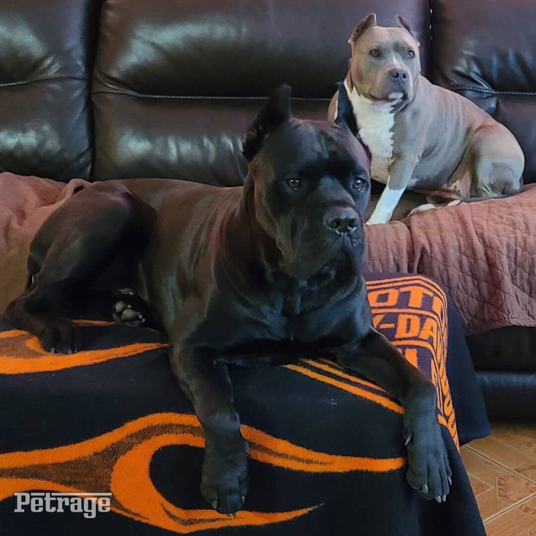 cane corso and blue nose picture petrage