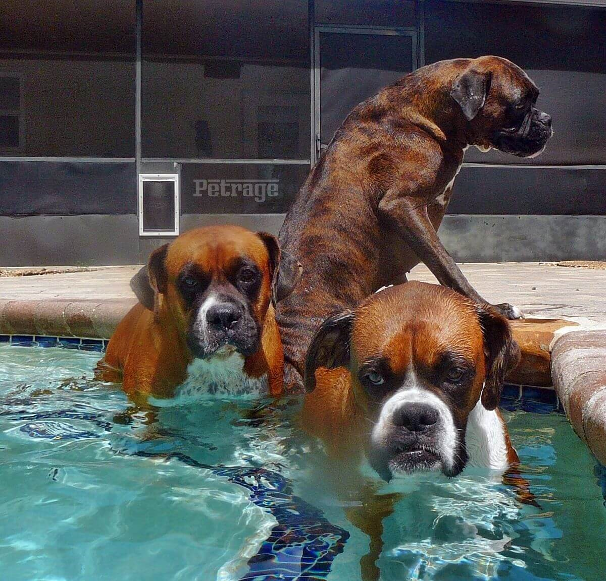 three boxer dogs in the pool petrage (1)