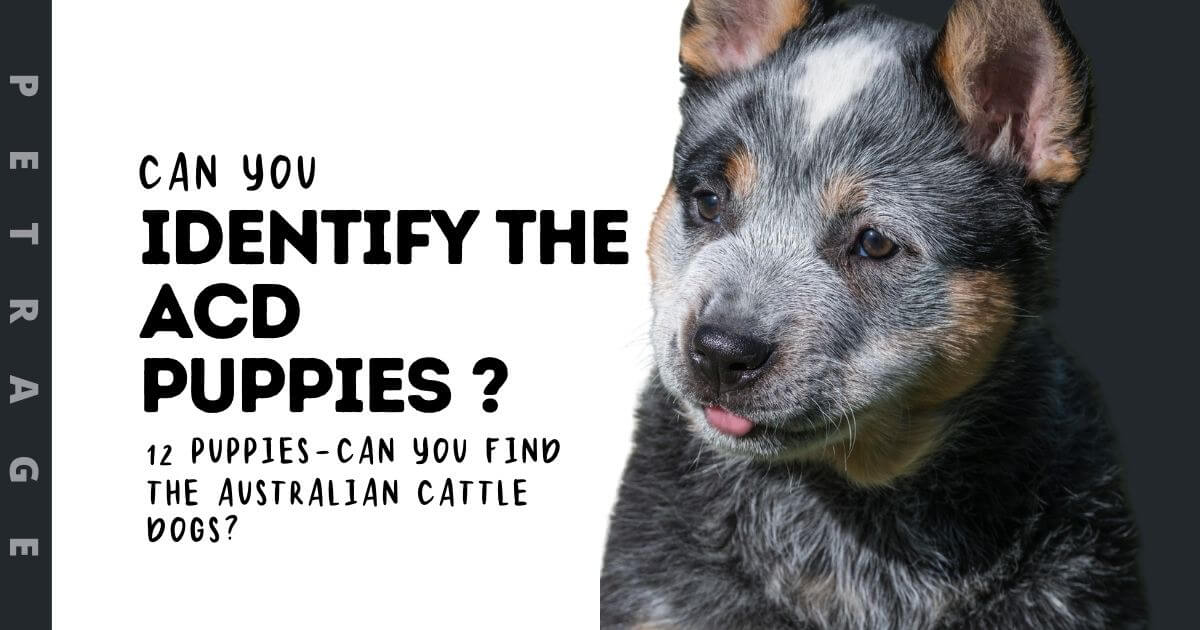 Can You Identify the Australian Cattle Dog Puppies