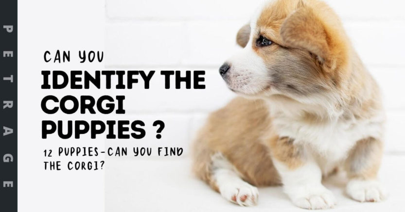 Can You Identify the corgi Puppies