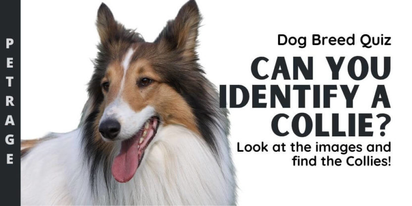 Can You Identify the Collie Dog Breed