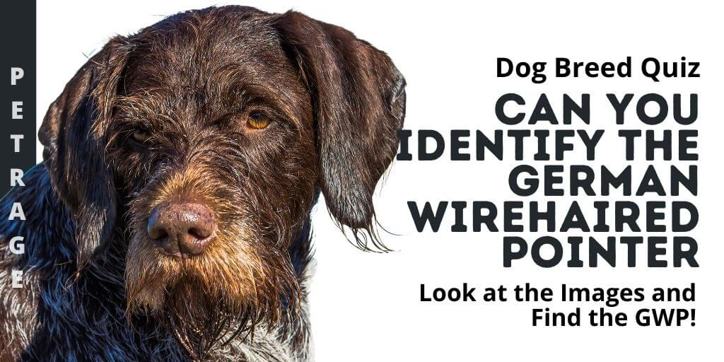 Can You Identify the German Wirehaired Pointer
