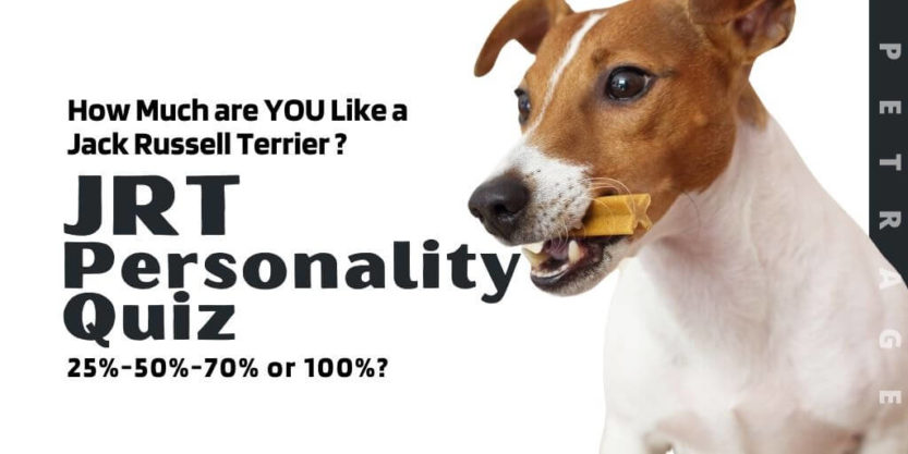 jack russell terrier personality quiz petrage (1)