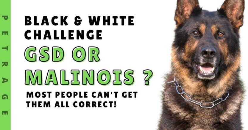 GSD or Belgian Malinois Black and White Challenge!