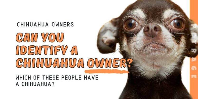 identify a chihuahua owner quiz petrage (1)