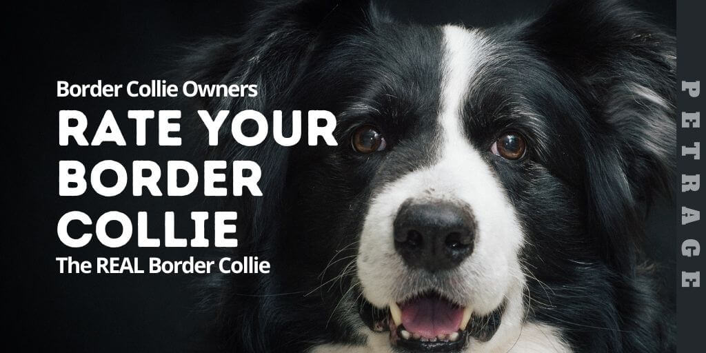 rate your border collie petrage