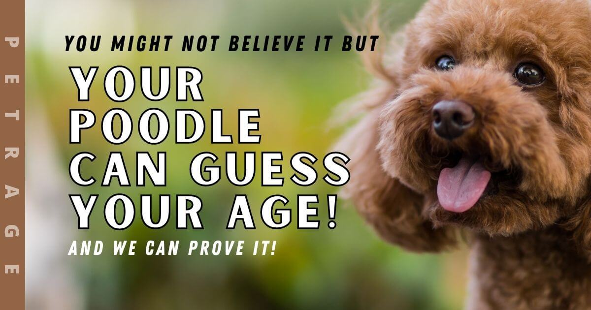 your poodle can guess your age petrage quiz