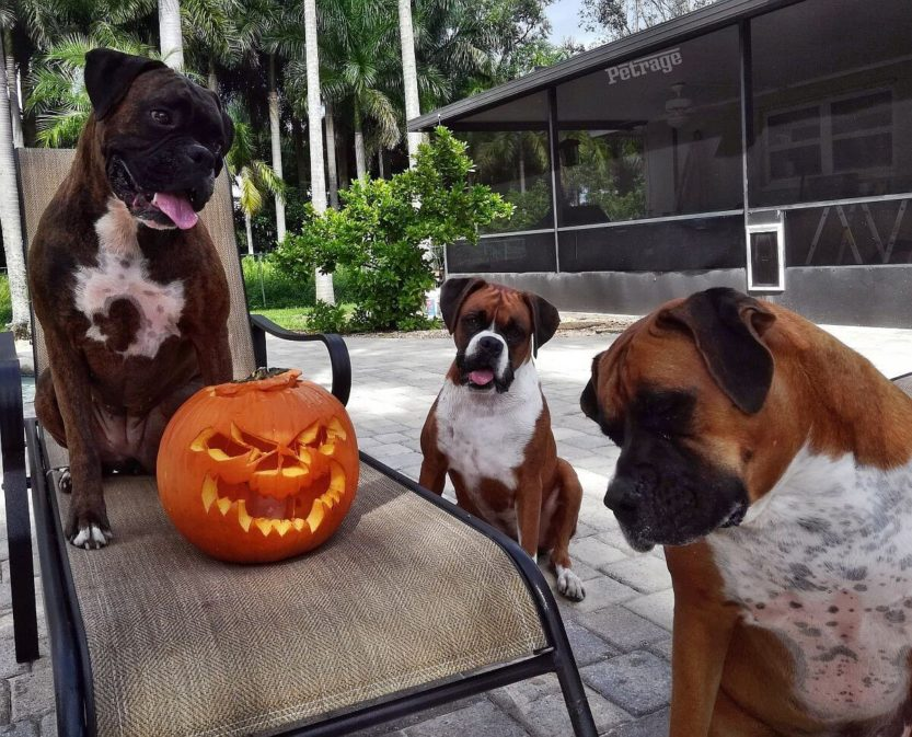 three boxers and a pumpkin