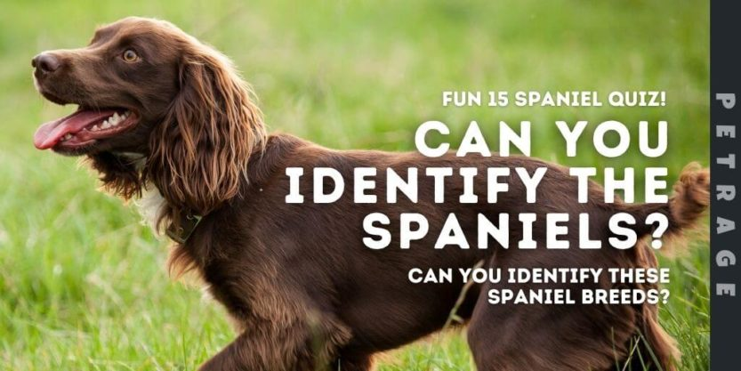 can you identify the spaniels quiz petrage