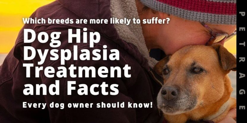 dog hip dysplasia treatment and facts petrage
