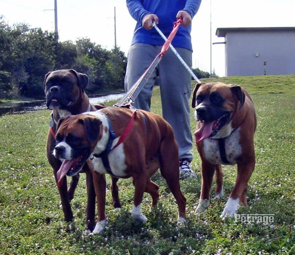 three boxer dogs on a walk the boxer squad petrage (3)