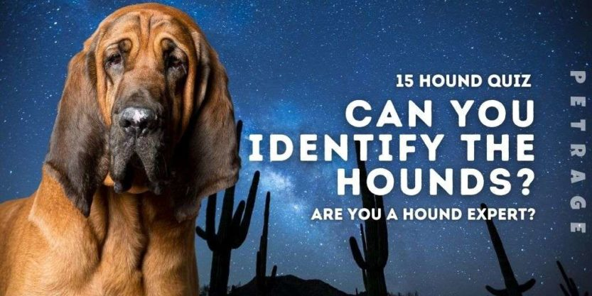 can you identify the hounds bloodhound quiz petrage