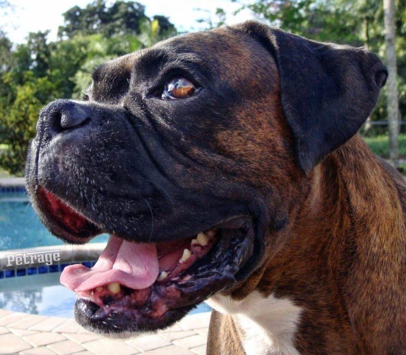 storm looking for a biscuit brindle boxer dog profile