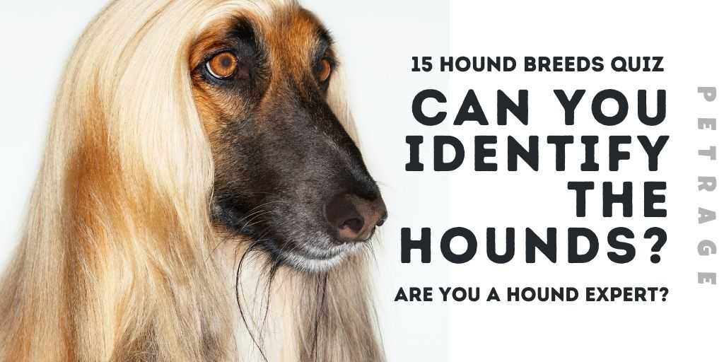 can you identify the hounds afghan quiz petrage