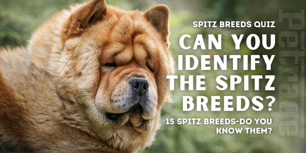 can you identify the spitz breeds quiz chow chow petrage