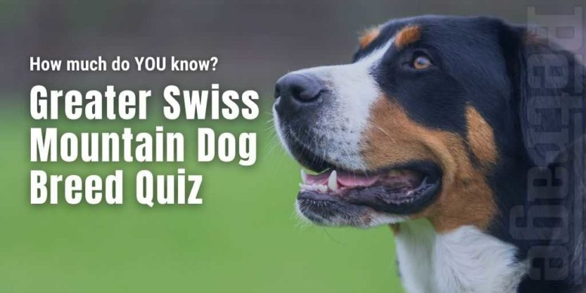 Greater Swiss Mountain Dog breed quiz petrage