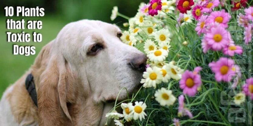 10 plants that are toxic to dogs petrage (2)