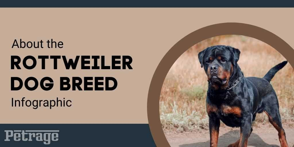 about the rottweiler infographic petrage