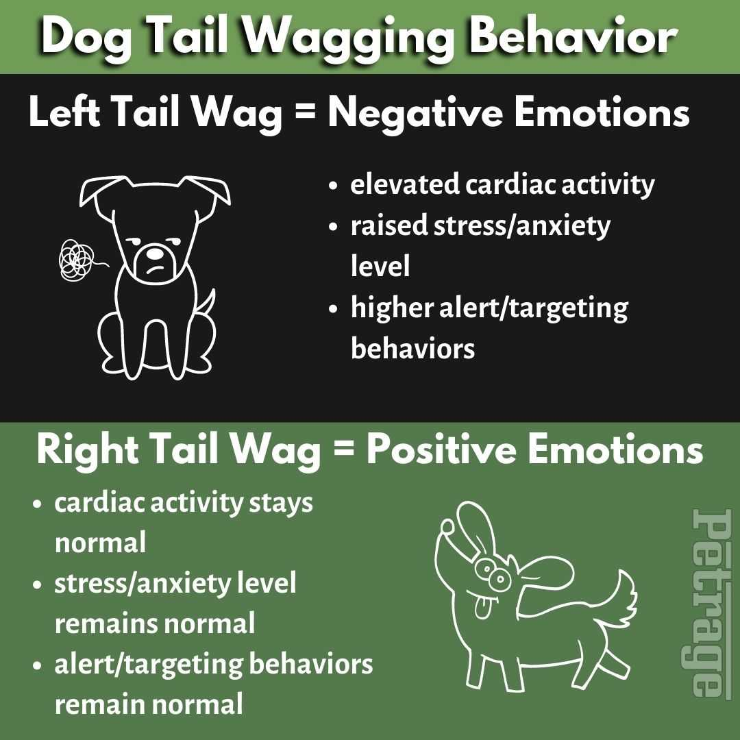dog tail wagging behavior left or right petrage